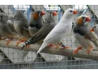 zebra finches & cages from £20