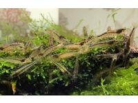 Amano very hardworking shrimp. Perfect algae eaters shrimps in fish tank. Worcester