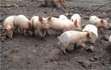 Pigs / Slips Collinsvale Glenorchy Area Preview