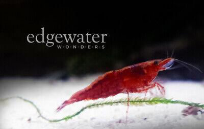 10+ Red Cherry Shrimp Freshwater Neocaridina Freshwater Red Shrimp