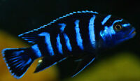 FISH - 10 VARIOUS ADULT MALE CICHLIDS FOR SALE