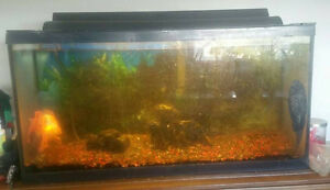 33 gallon fish tank + accessories + pleco & shubunkin goldfish