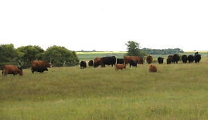Red and Black Bred Cows for Sale
