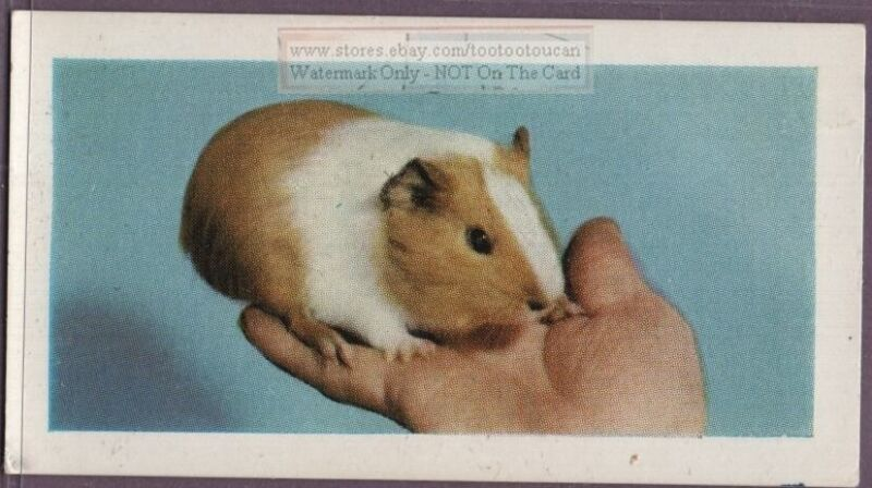 How To Care For Your Pet Guinea Pig  Vintage Trade Card