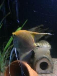 Trade large male angelfish for platys