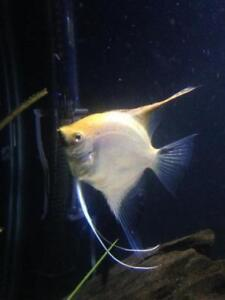 Large adult male angelfish for sale or will trade