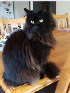 MISSING CAT 'GYPSY' Inglewood Stirling Area Preview