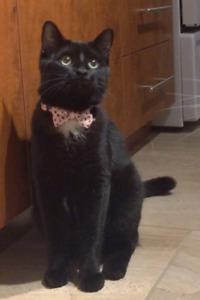 Lost Black Cat/Chatte Noire Perdue - Old Hull - 200$ Reward