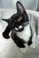 "Adult Female Cat - Domestic Short Hair: ""Barrymore"""