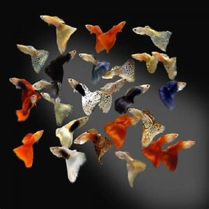 Wanted: Guppies! all shapes and colours