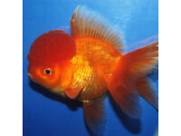cold water fish for sale oranda and black moors