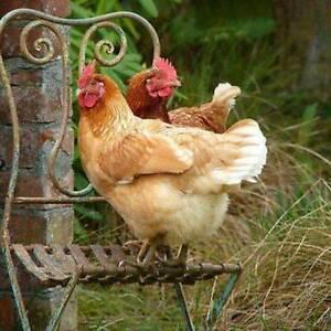 Chooks & Chickens for sale now Bendigo Bendigo City Preview