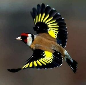 Looking for 2 females European goldfinch