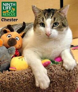 """Adult Male Cat - Domestic Short Hair: """"Chester"""""""