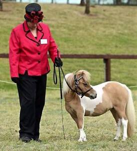 Outstanding Red dun pinto Miniature pony/APSB Filly Medowie Port Stephens Area Preview
