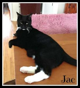 Adult Male  - Domestic Short Hair-black and white-Tuxedo