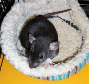 "Young Male Small & Furry - Rat: ""Boots"""