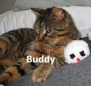"""Adult Male Cat - Tabby - Brown: """"Buddy"""""""