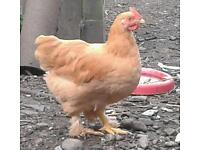 Bantam cockerel