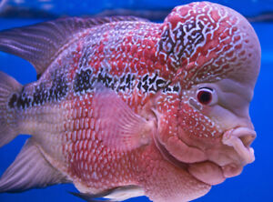 I have Flowerhorn  cichlids fry and juveniles for sale.
