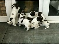 Beautiful liver and white full bred springer spaniel puppies.