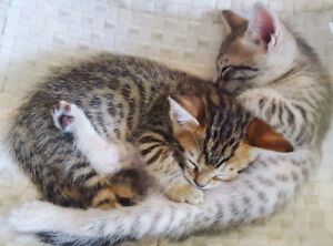 1st shot & Deworming included! Bengal Kittens!