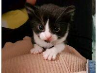 8 week old kitten - £20