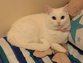 PURE WHITE CAT FOR A LOVING HOME