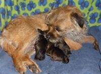 CKC Registered Border Terrier Pups