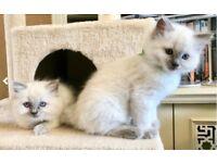 Three Beautiful Ragdoll kittens for sale £650 each