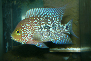 Texas Cichlids wanted
