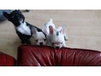 french bulldog puppies for sale ONLY 2males left