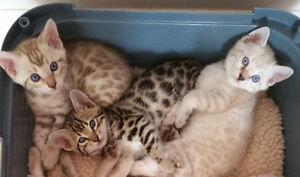 A few Snow Bengal Kittens are left! Price Reduced
