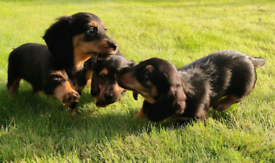 Longhaired Dachshund Pups