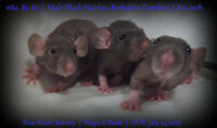 Male Black Hairless Dumbo Baby Rats (1 available)