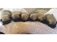 Gorgeous Kc Reg pug puppy's ready for 17/08/18