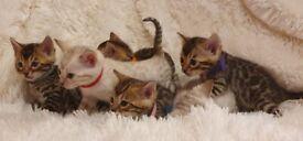 Tica Reg Bengal kittens