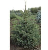 TREES - Blue Spruce, Cedar, Norway Spruce, Red Maples, etc. (TO)