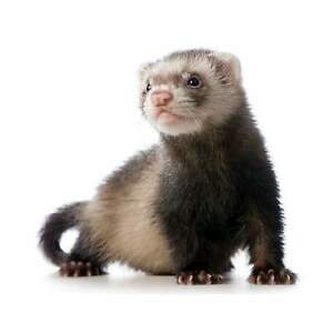 Looking to adopt oolder ferret