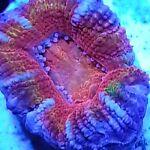 Corallicious Frags