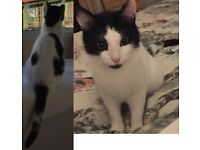 Missing black & white shorthair. Small & nervous boy. Last seen Glenbrook area in Barry 24th April