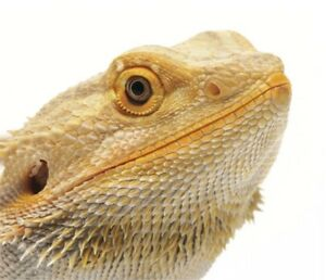 Looking to buy a bearded dragon.