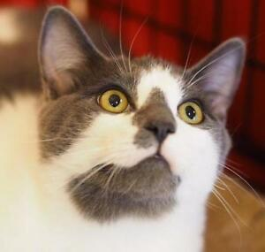 "Young Male Cat - Domestic Short Hair - gray and white: ""Dorian"""