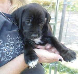"Young Female Dog - Bluetick Coonhound-Labrador Retriever: ""Lola"""