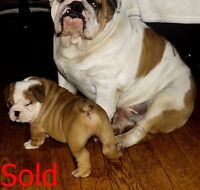 Quality english bulldogs ready for christmas 1M & 1F
