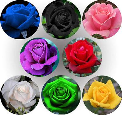 50pcs Multi-color Rare Rainbow Rose Flower Seeds ...