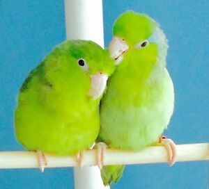 A PAIR Of BABY PARROTLETS For SALE! ALL Supplies INCLUDED!