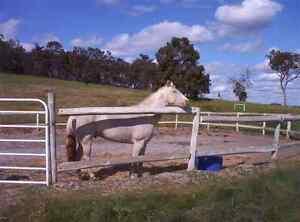 Quarter Pony Stallion Cremello Kojonup Pallinup Area Preview