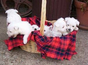 West Highland White Terrier quality breed puppies,  Registered Ipswich Ipswich City Preview