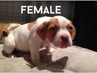 American Bulldog Pups ready for forever homes !!
